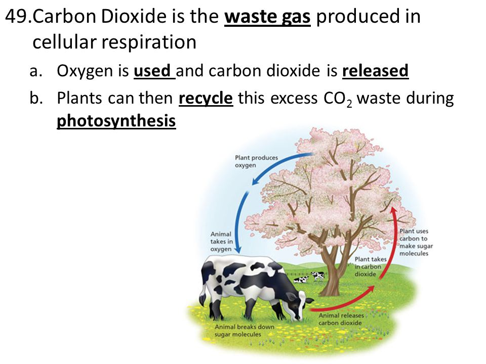 Carbon Dioxide is the waste gas produced in cellular respiration