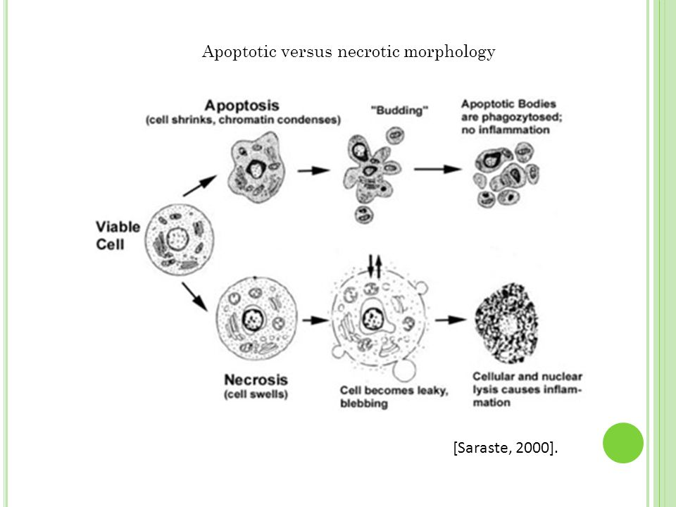 Apoptotic versus necrotic morphology