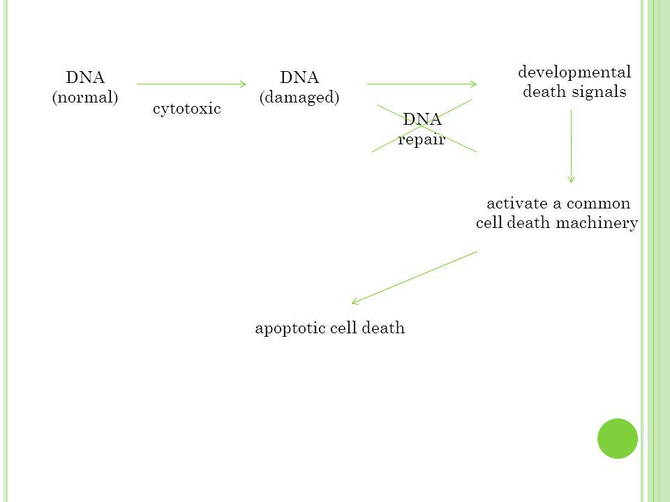 developmental death signals DNA (normal) DNA (damaged)