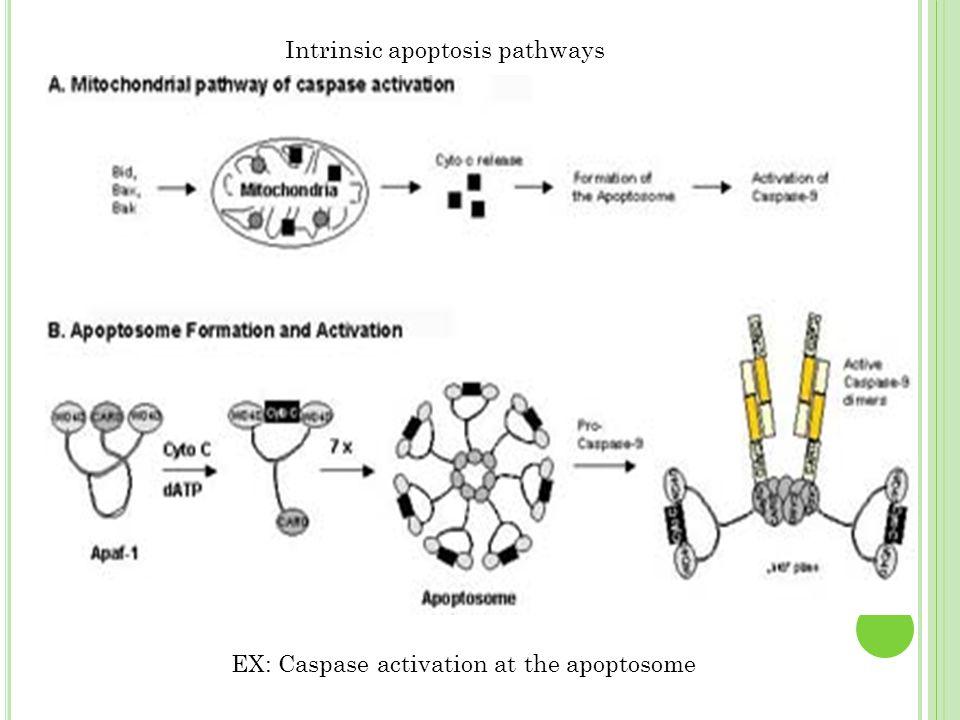 Intrinsic apoptosis pathways