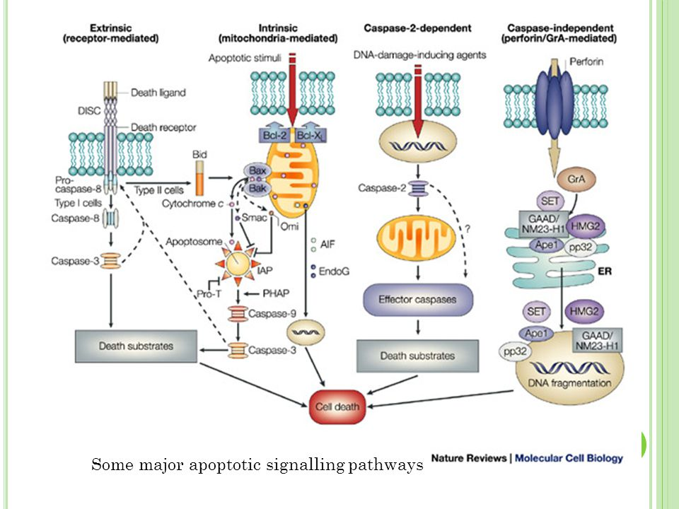 Some major apoptotic signalling pathways
