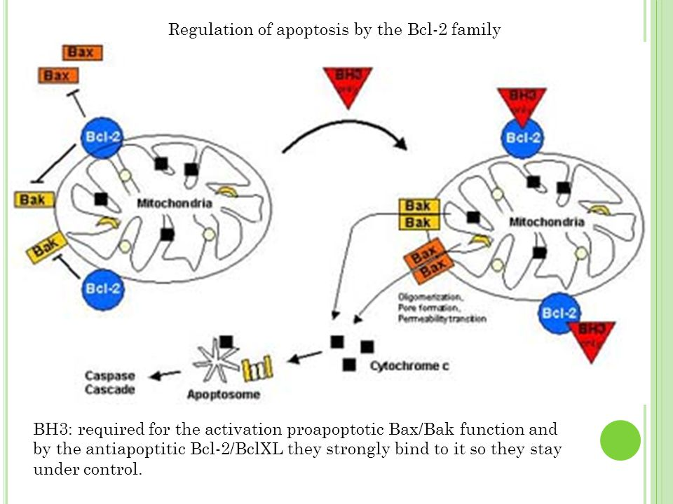Regulation of apoptosis by the Bcl-2 family