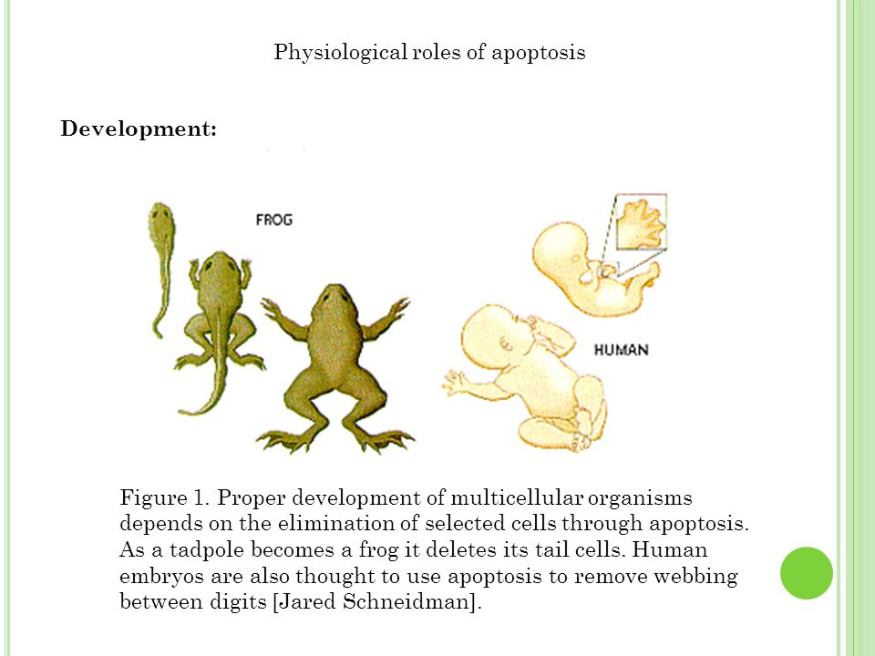 Physiological roles of apoptosis