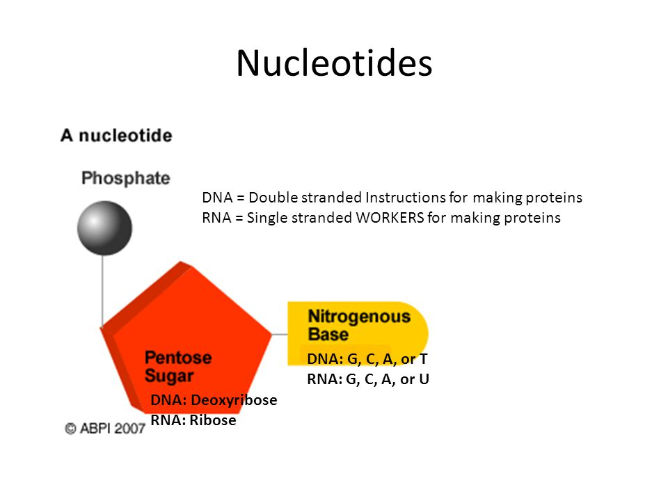 Nucleotides DNA = Double stranded Instructions for making proteins