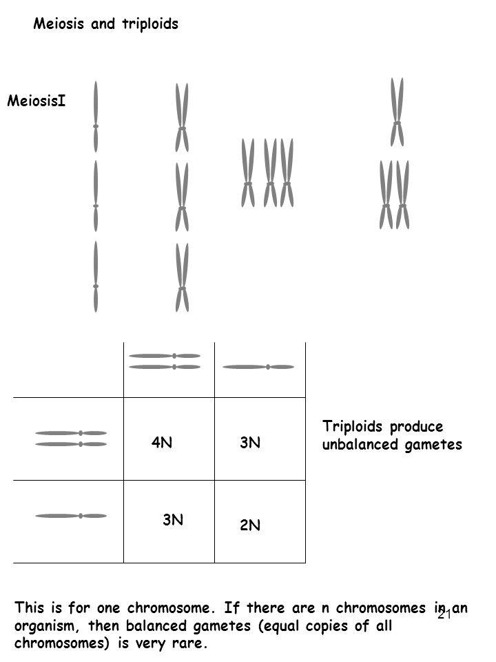 Meiosis and triploids MeiosisI. 4N. 3N. 2N. Triploids produce unbalanced gametes.