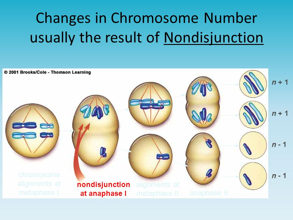 Changes in Chromosome Number usually the result of Nondisjunction