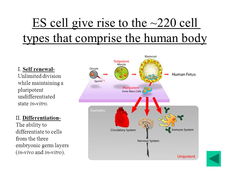 ES cell give rise to the ~220 cell types that comprise the human body