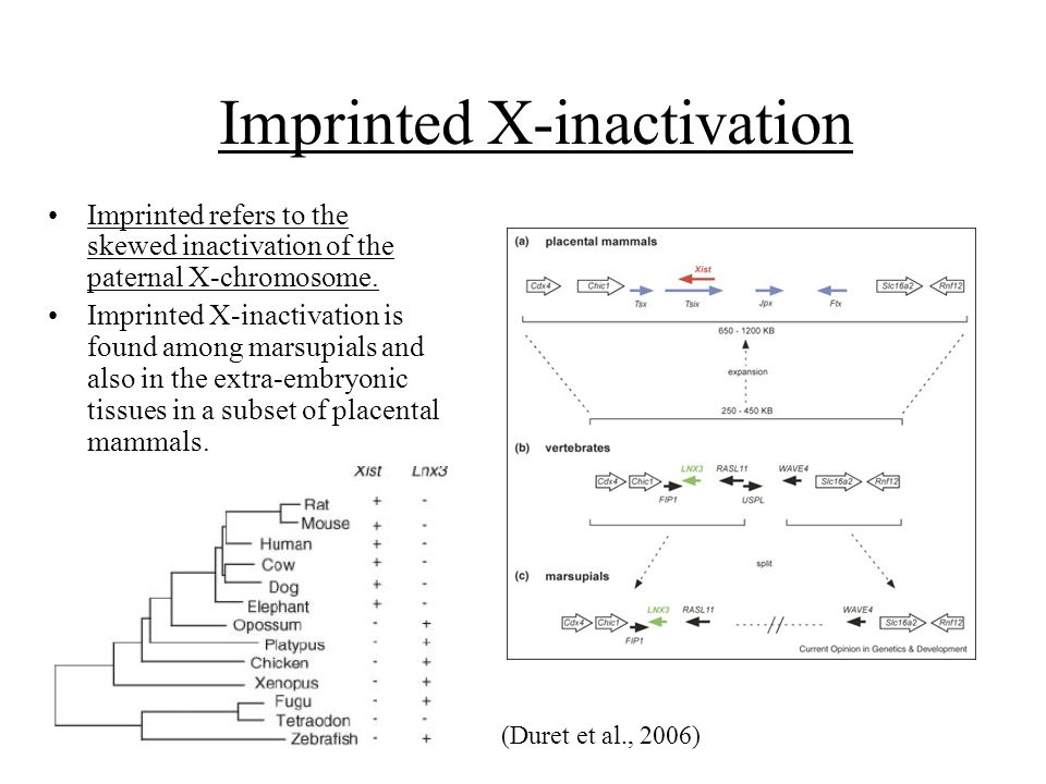 Imprinted X-inactivation