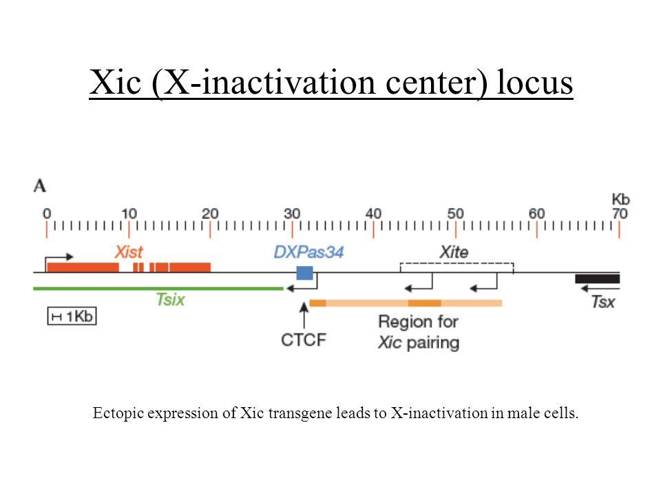 Xic (X-inactivation center) locus