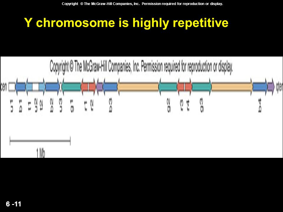 Y chromosome is highly repetitive