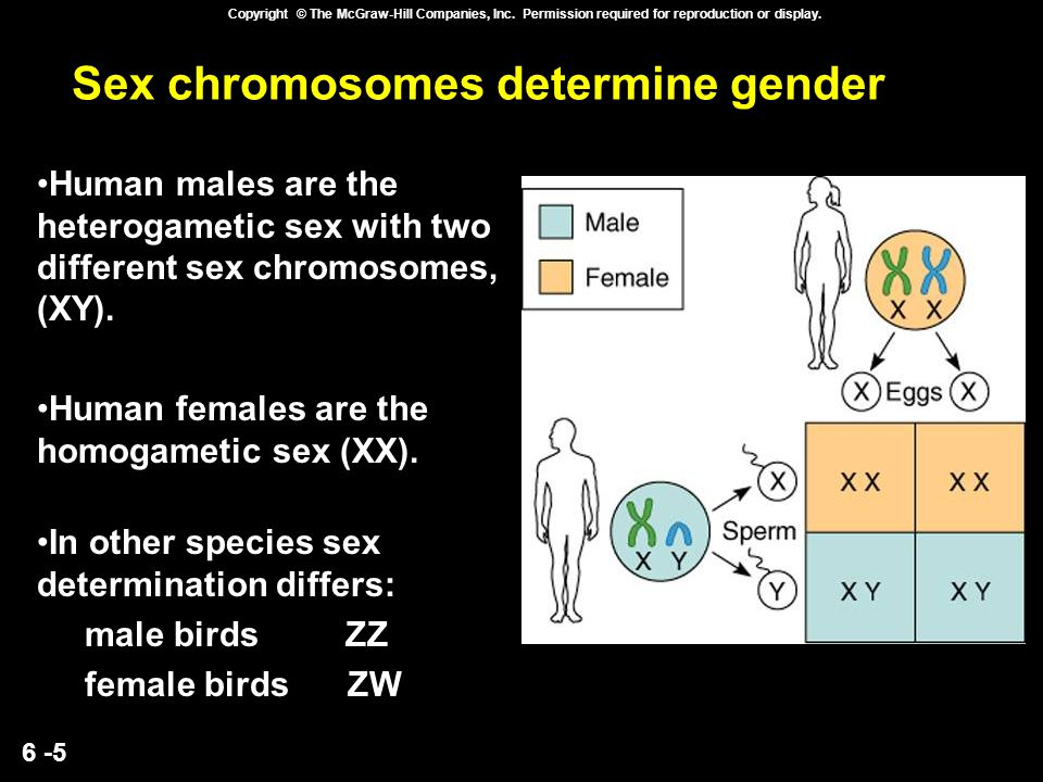 Sex chromosomes determine gender