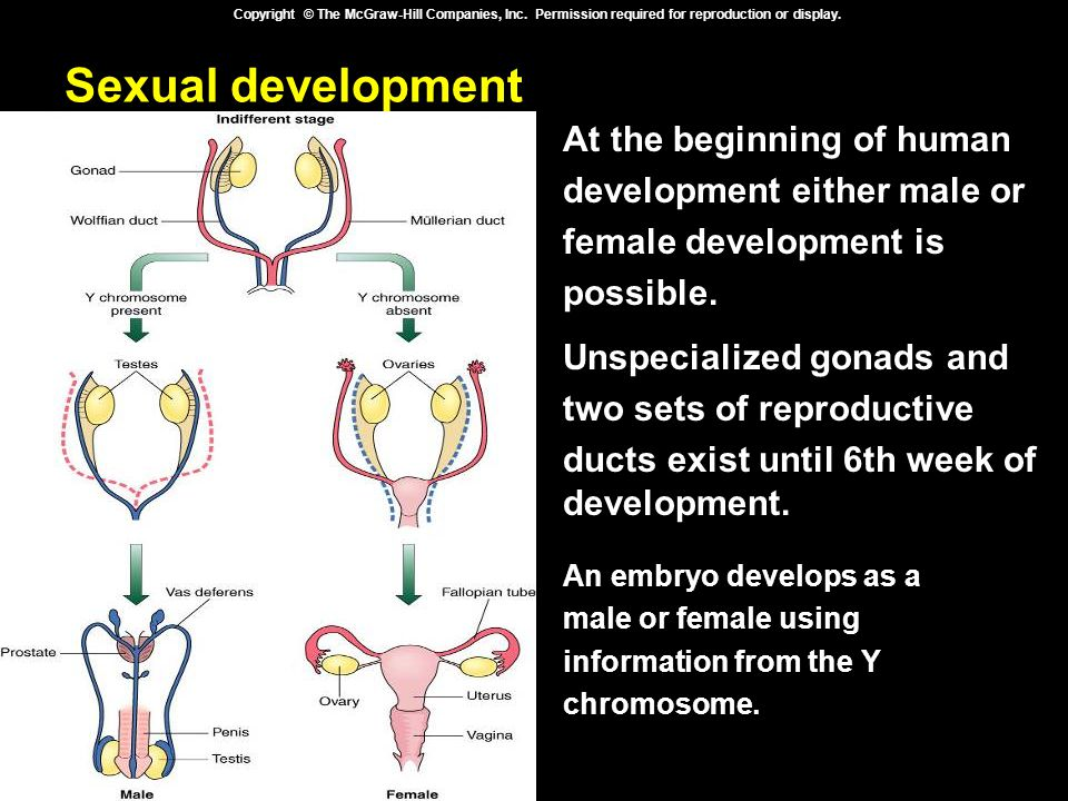 Sexual development At the beginning of human