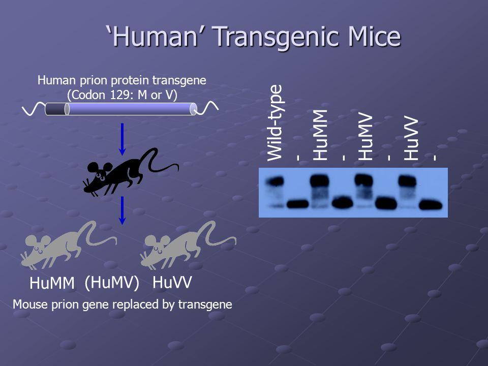'Human' Transgenic Mice