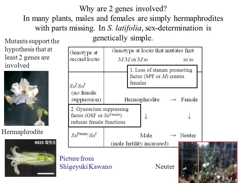 Why are 2 genes involved In many plants, males and females are simply hermaphrodites with parts missing. In S. latifolia, sex-determination is genetically simple.