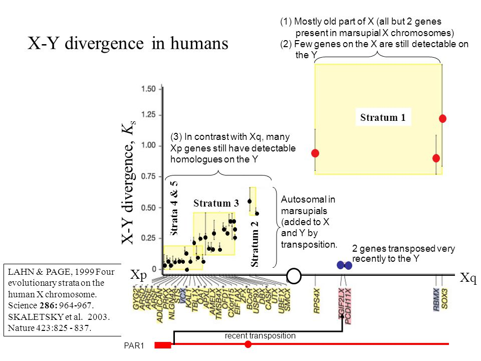 X-Y divergence in humans