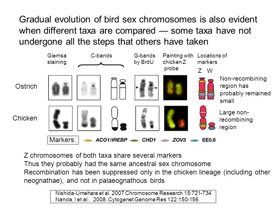Gradual evolution of bird sex chromosomes is also evident when different taxa are compared — some taxa have not undergone all the steps that others have taken
