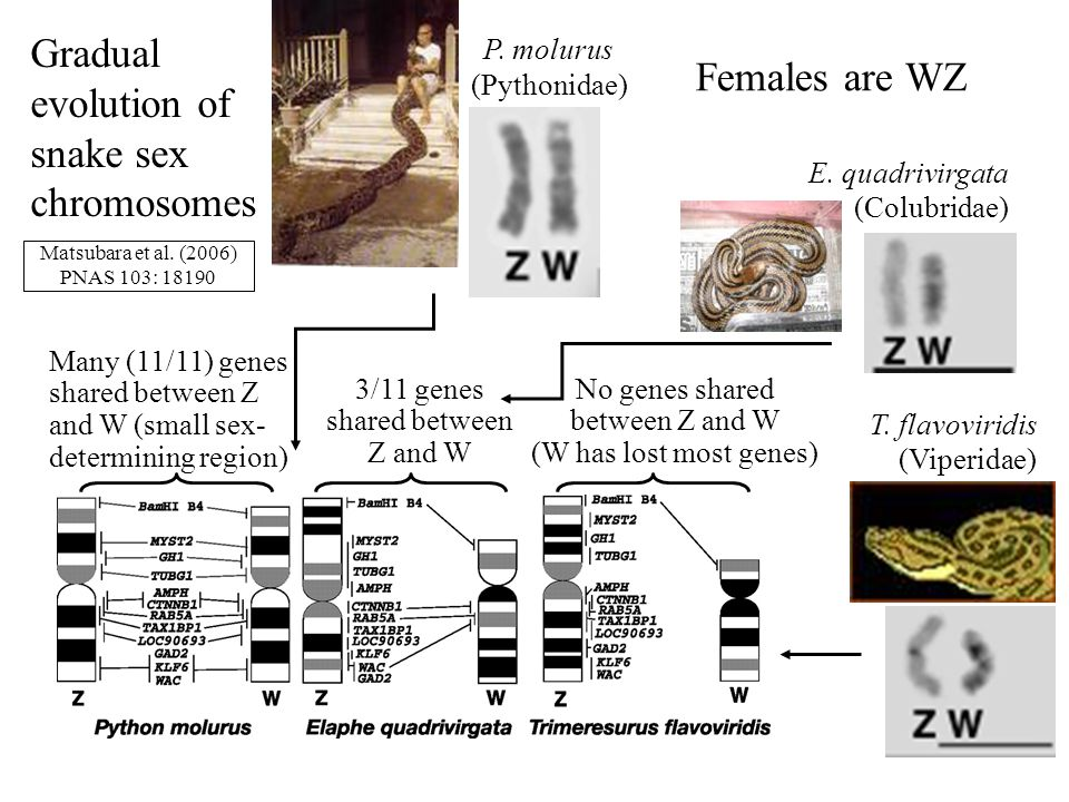 Gradual evolution of snake sex chromosomes Females are WZ