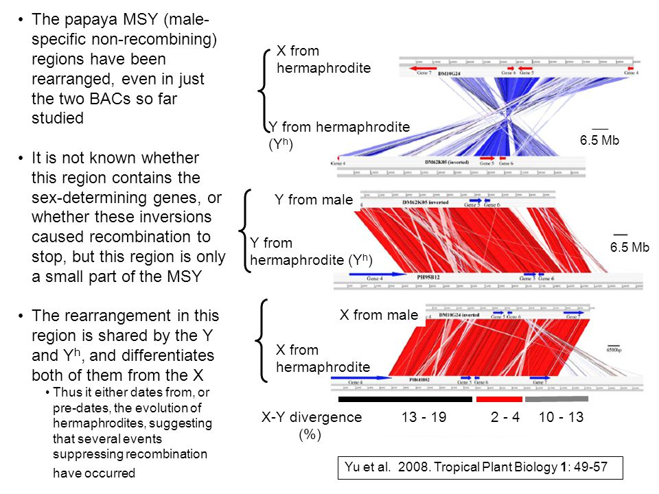 The papaya MSY (male-specific non-recombining) regions have been rearranged, even in just the two BACs so far studied
