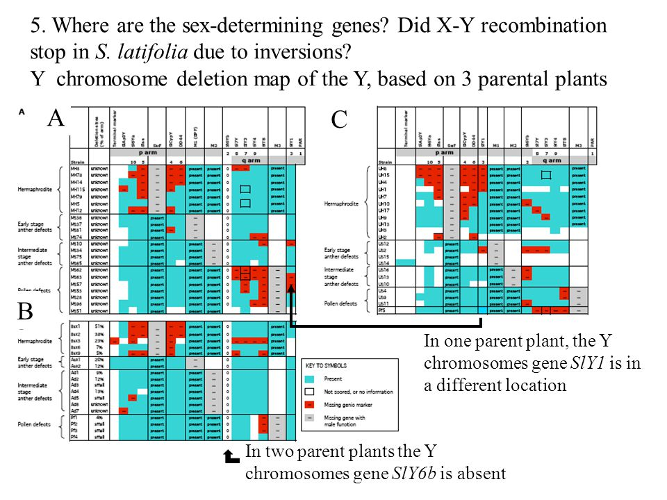 5. Where are the sex-determining genes Did X-Y recombination stop in S. latifolia due to inversions Y chromosome deletion map of the Y, based on 3 parental plants