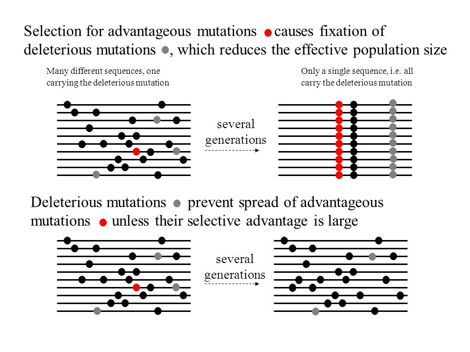 Selection for advantageous mutations causes fixation of deleterious mutations , which reduces the effective population size