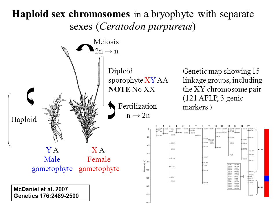 Haploid sex chromosomes in a bryophyte with separate sexes (Ceratodon purpureus)