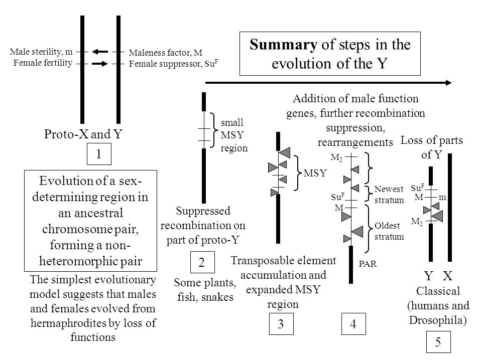 Summary of steps in the evolution of the Y