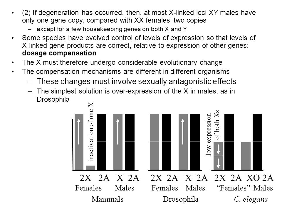 (2) If degeneration has occurred, then, at most X-linked loci XY males have only one gene copy, compared with XX females' two copies