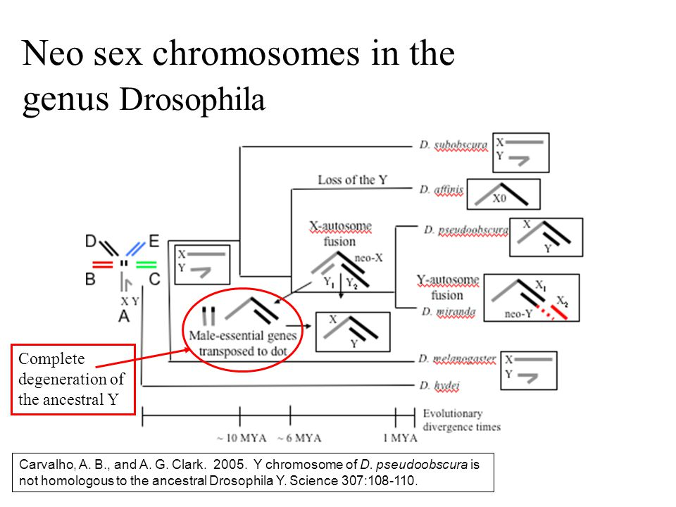 Neo sex chromosomes in the genus Drosophila