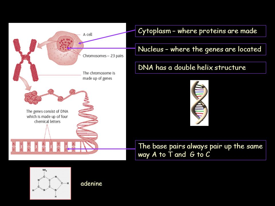 Cytoplasm – where proteins are made