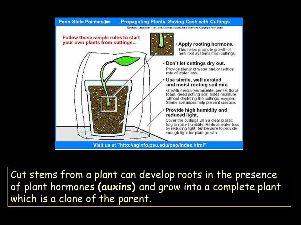 Cut stems from a plant can develop roots in the presence of plant hormones (auxins) and grow into a complete plant which is a clone of the parent.