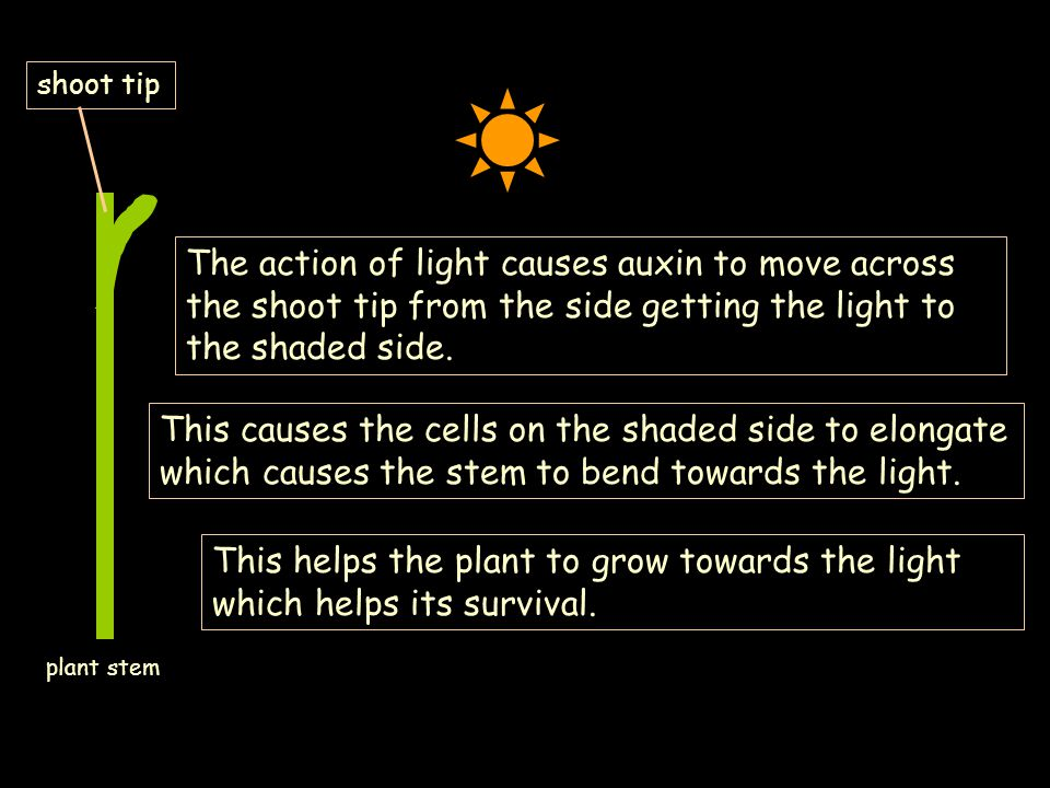 shoot tip The action of light causes auxin to move across the shoot tip from the side getting the light to the shaded side.