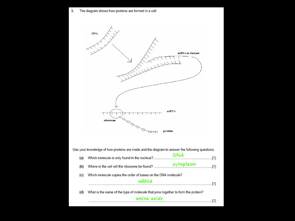 DNA cytoplasm mRNA amino acids