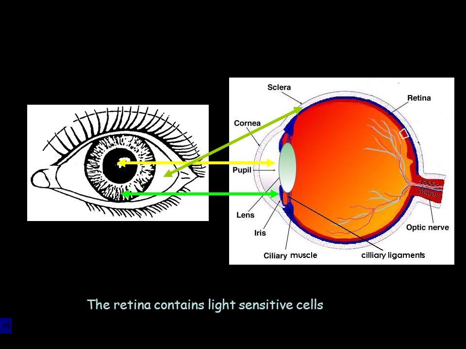 The retina contains light sensitive cells