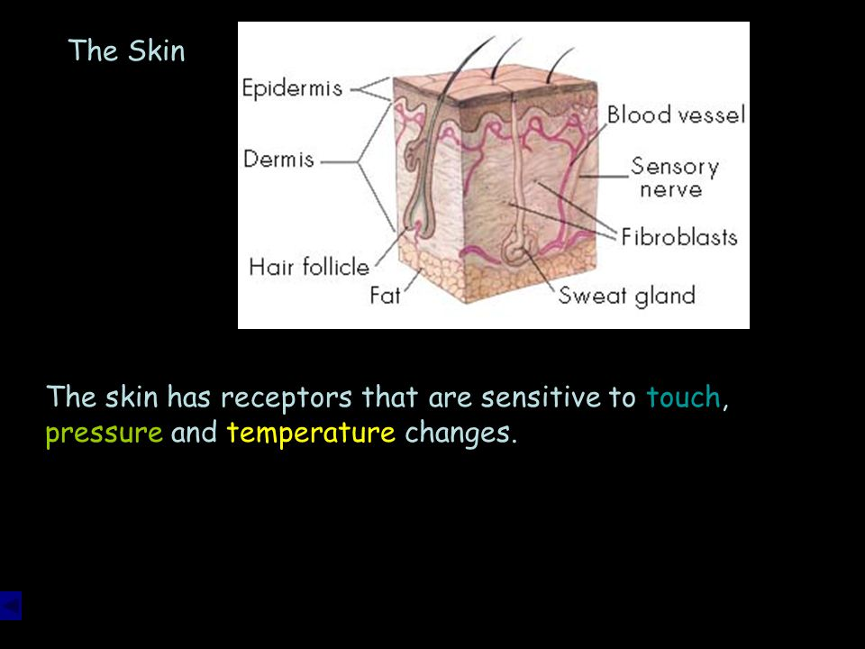 The Skin The skin has receptors that are sensitive to touch, pressure and temperature changes.
