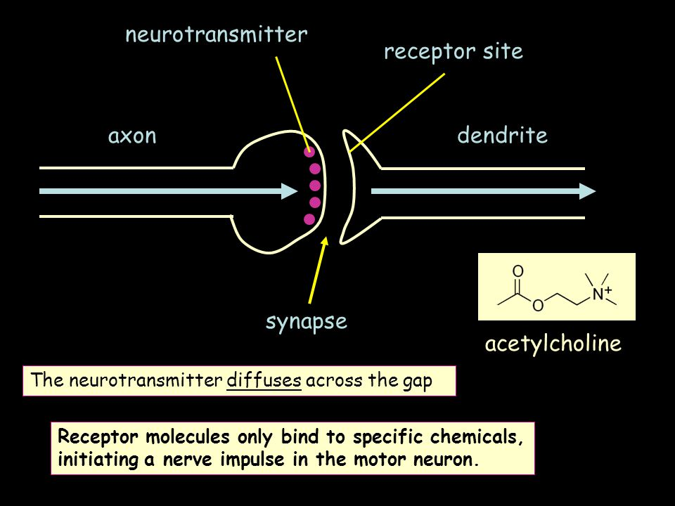 neurotransmitter receptor site axon dendrite synapse acetylcholine