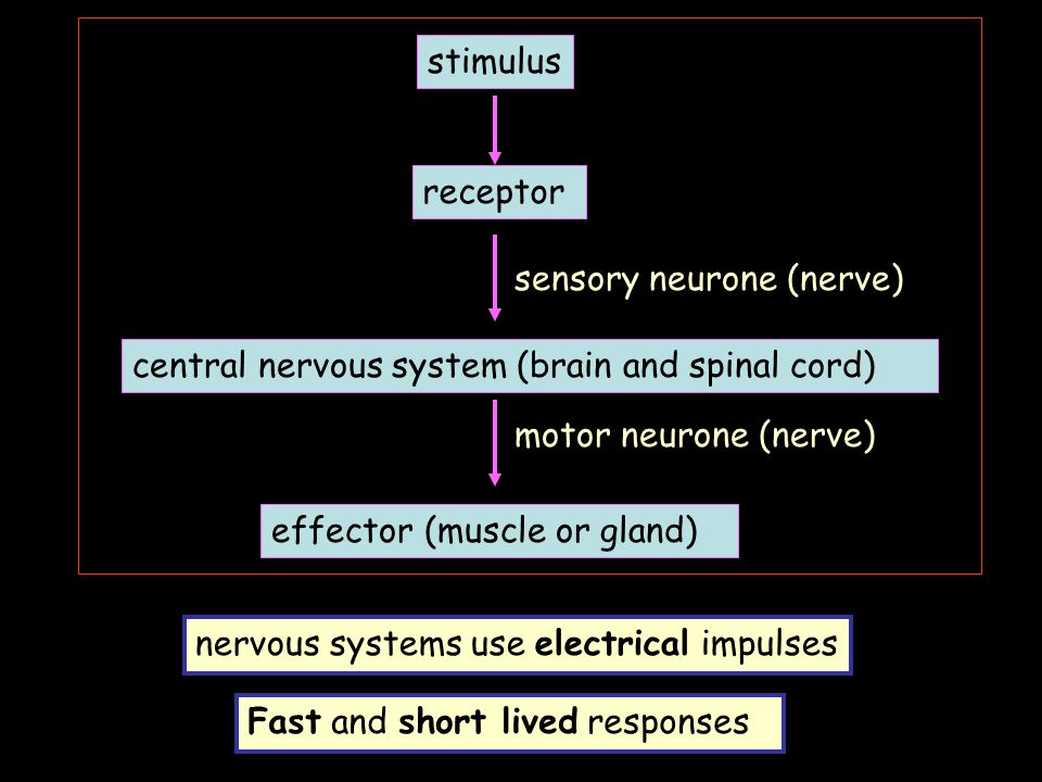 stimulus receptor. sensory neurone (nerve) central nervous system (brain and spinal cord) motor neurone (nerve)