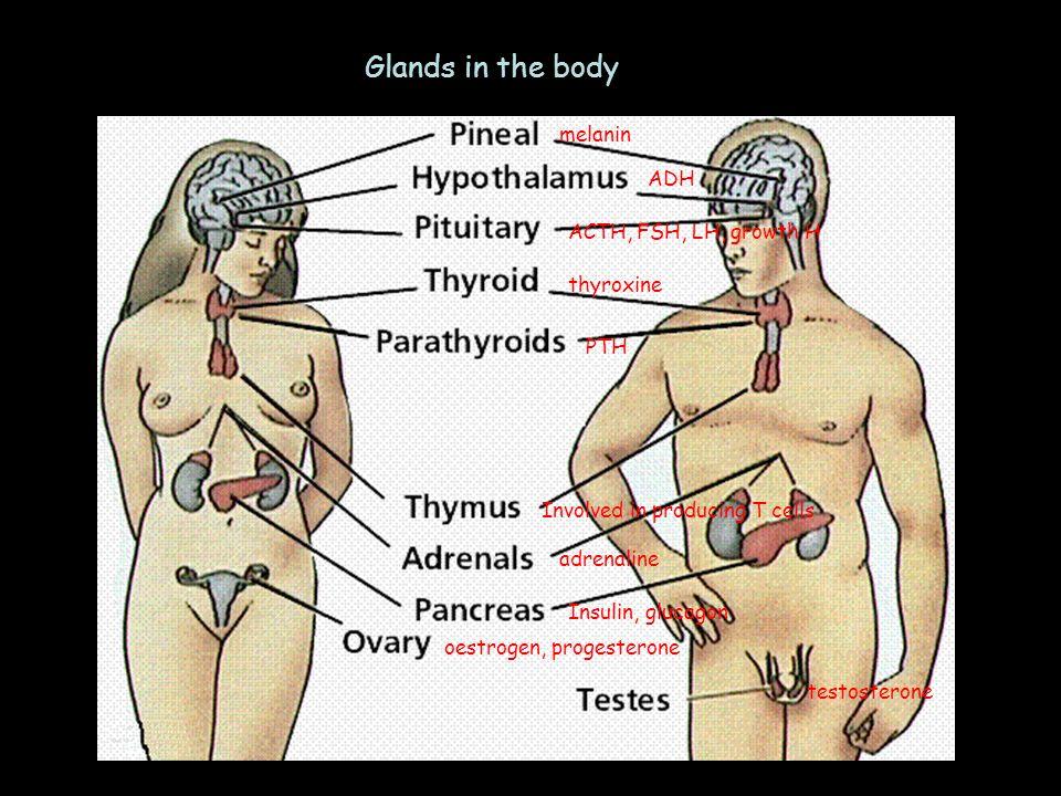 Glands in the body melanin ADH ACTH, FSH, LH, growth H thyroxine PTH