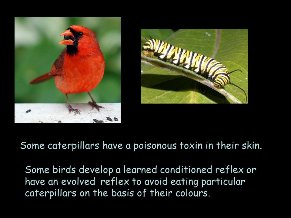 Some caterpillars have a poisonous toxin in their skin.