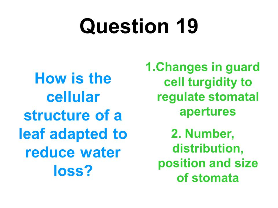 Question 19 Changes in guard cell turgidity to regulate stomatal apertures. 2. Number, distribution, position and size of stomata.