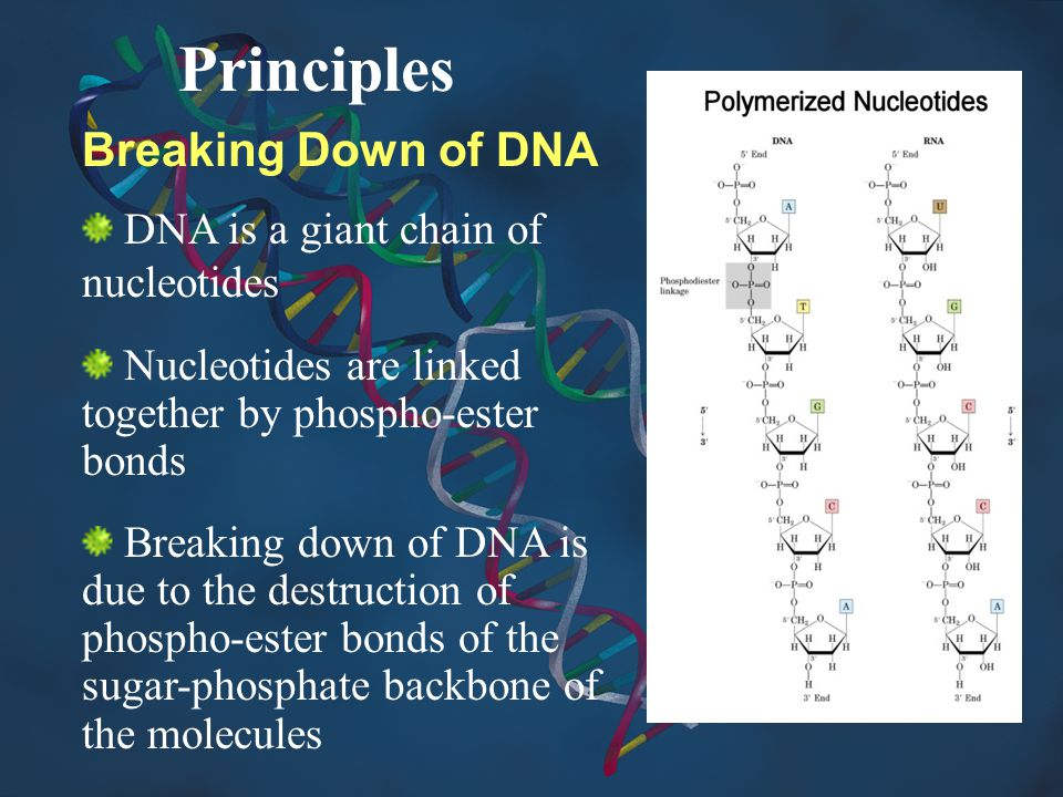 Principles Breaking Down of DNA DNA is a giant chain of nucleotides