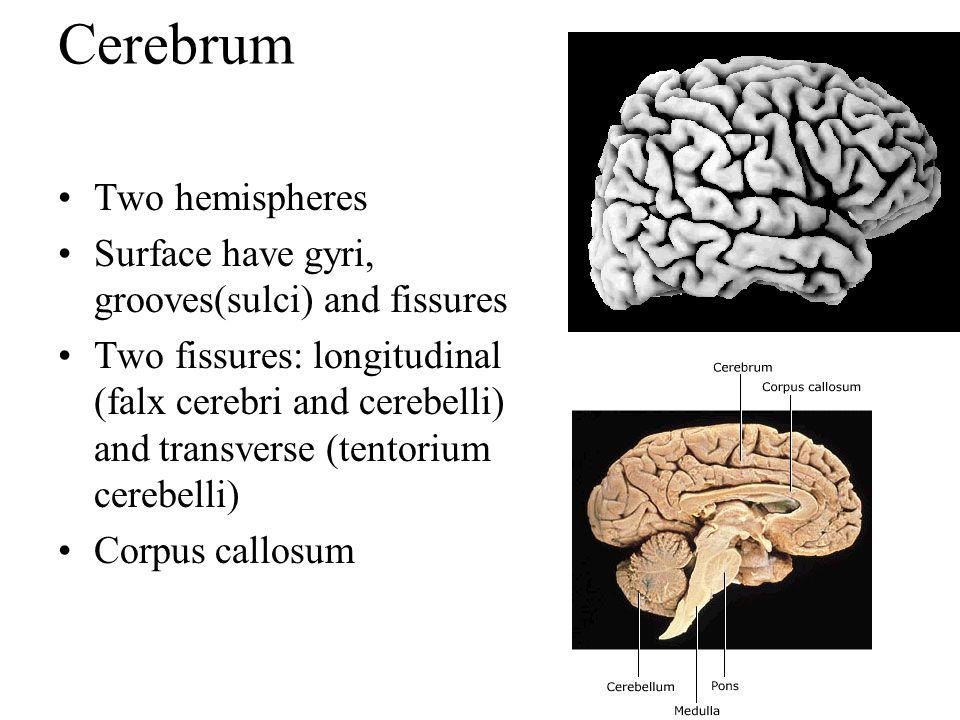 Cerebrum Two hemispheres