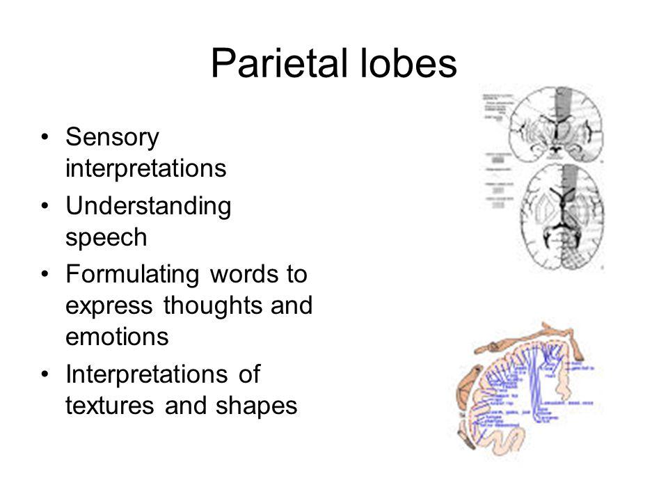 Parietal lobes Sensory interpretations Understanding speech