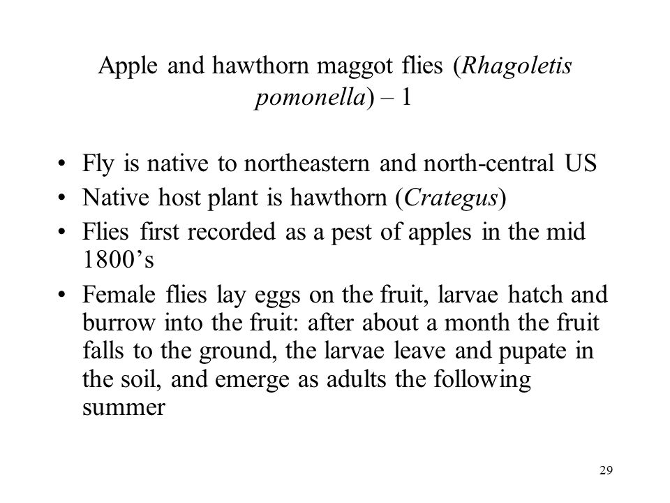 Apple and hawthorn maggot flies (Rhagoletis pomonella) – 1