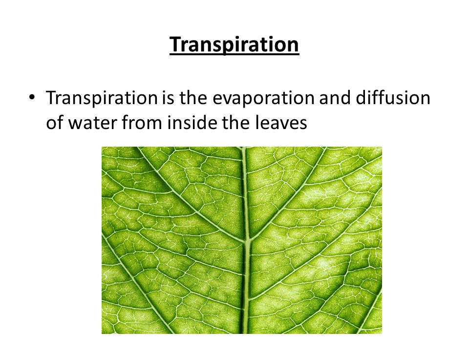 Transpiration Transpiration is the evaporation and diffusion of water from inside the leaves