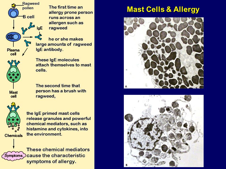 Mast Cells & Allergy