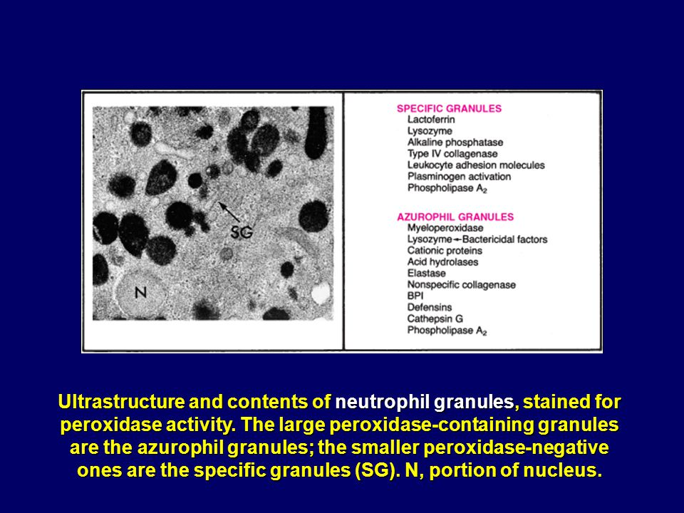 Ultrastructure and contents of neutrophil granules, stained for peroxidase activity.