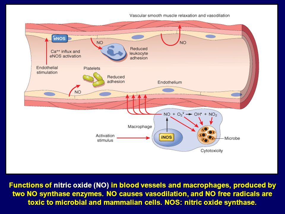 Functions of nitric oxide (NO) in blood vessels and macrophages, produced by two NO synthase enzymes.