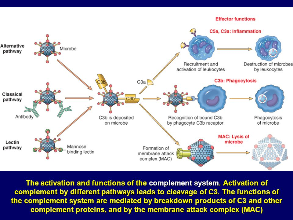 The activation and functions of the complement system