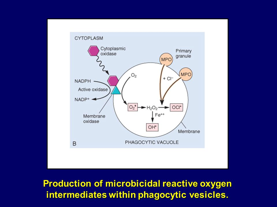 Production of microbicidal reactive oxygen intermediates within phagocytic vesicles.