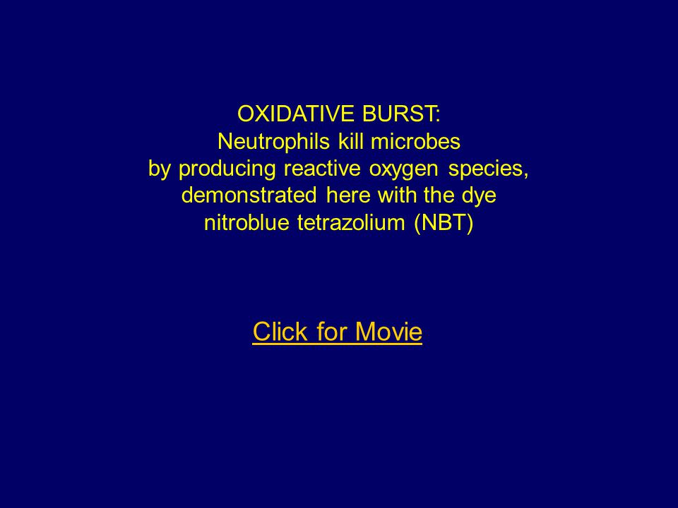 Click for Movie OXIDATIVE BURST: Neutrophils kill microbes